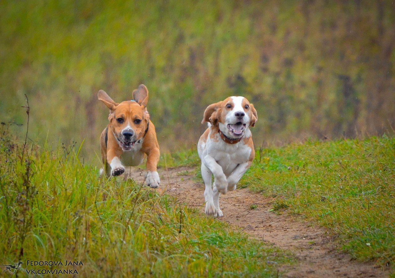 Зачем нужны бега за механическим зайцем (курсинг)?
